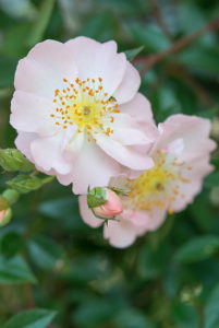 Enjoy the long flowering period of roses all season long
