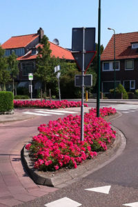 Roses in public spaces add colour and scent