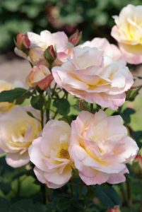 Roses add fragrance to your garden
