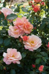 The advantages of modern shrub roses