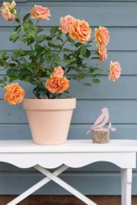 Garden roses make great gifts