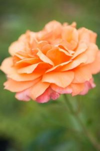 Create your own rose garden and enjoy their scent and colour for years to come