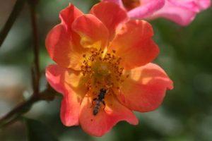 Roses enhance biodiversity